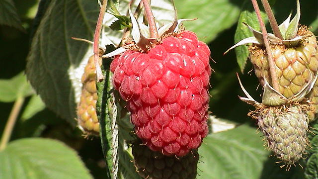 Raspberry Nutritional Facts