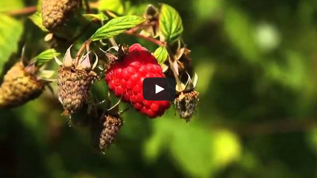 Fresh Raspberries Video