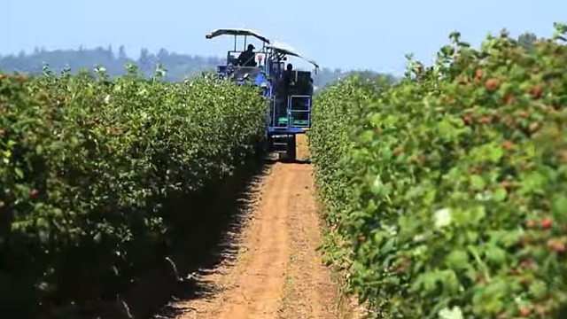 Raspberry picking machine