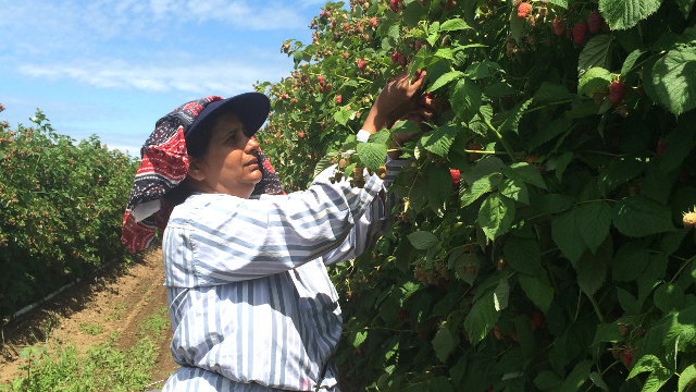 Raspberry picking woman